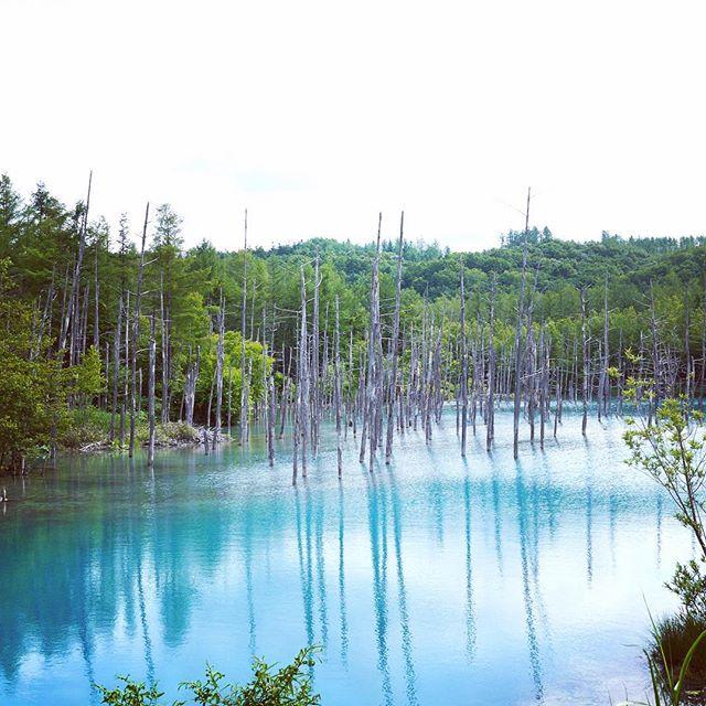 台風で封鎖していた青い池が復帰したようです。#北海道 #美瑛 #青い池