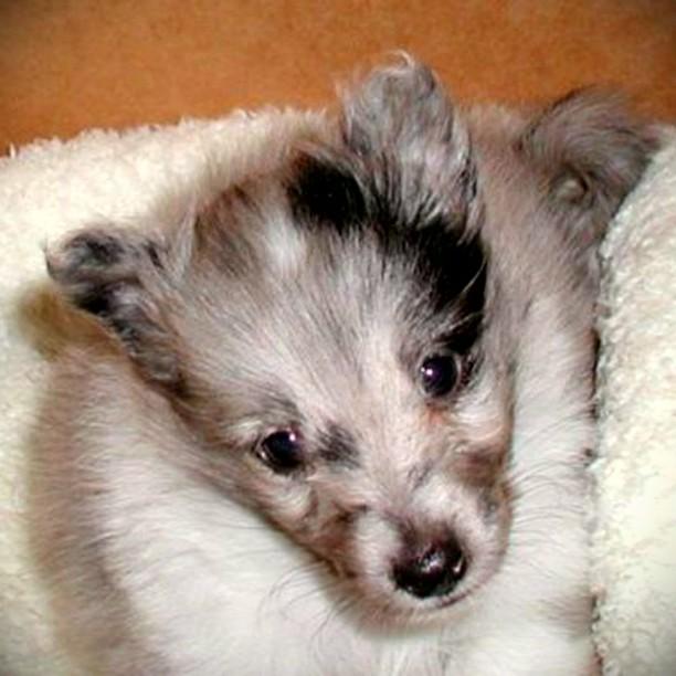 子犬のころのうちのワン #シェルティ #子犬